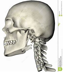Human Skull And Neck Lateral Stock Illustration