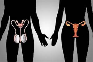 Female  U0026 Male Reproductive System  Organs  Diagram
