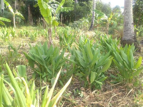 manfaat tanaman tanaman rempah fitofarmaka