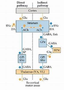 Circuit Diagram For Direct  U0026 Indirect Pathways  Neurotransmitters  Ach