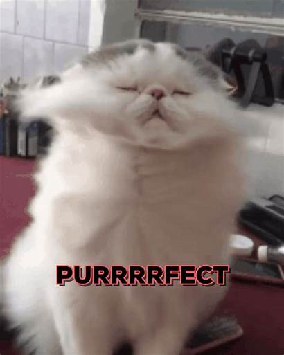 Cat Perfect Giphy Gifs Amanda Purrfect