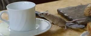 Mäuse Bekämpfen Haus : m use im haus m use in der wohnung wie kann man m use ~ Michelbontemps.com Haus und Dekorationen