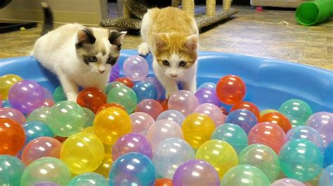 cute kittens play  ball pit youtube
