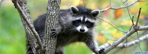 raccoon facebook cover timeline photo banner  fb
