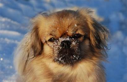 Spaniel Tibetan Dog Breeds Face Beginning Puppy