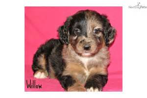 Aussiedoodle Rescue Puppies for Sale