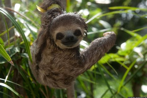 Sloth Images Sloth Images Feature Photogenic Creatures Rescued After