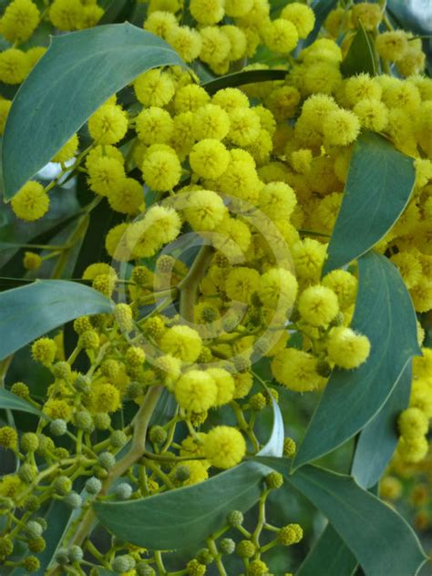 acacia pycnantha golden wattle information