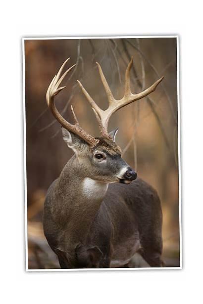 Deer Whitetail Antlers Buck Nice Animal Hunting