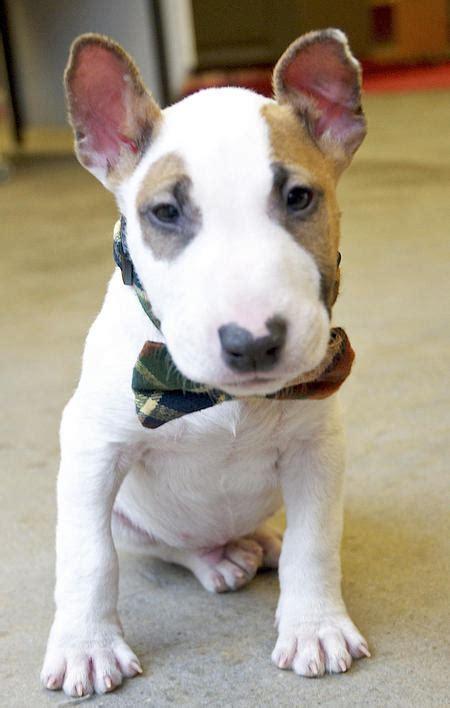 tudo sobre cachorros filhotes de cachorro bull terrier