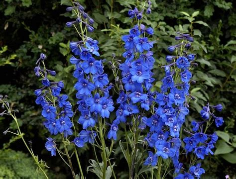 25 best ideas about delphinium flowers on flowers outdoor potted plants and