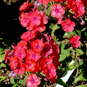 Creeping Phlox Subulata 'Scarlet Flame' for sale! Buy ...