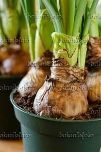 Tulpenzwiebeln Im Topf Pflanzen : blumenzwiebeln pflanzen blumenzwiebeln pflanzen in garten ~ Lizthompson.info Haus und Dekorationen