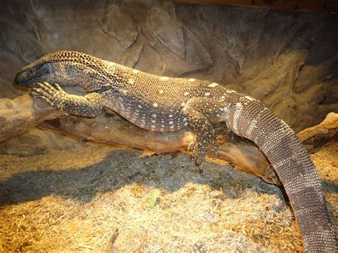 black throat monitor black throat monitor facts and pictures reptile fact