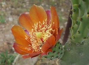 Holzstämme Geschält Kaufen : der geschmack von kreta kaktusfeigen zuwanderer aus s damerika ~ Orissabook.com Haus und Dekorationen