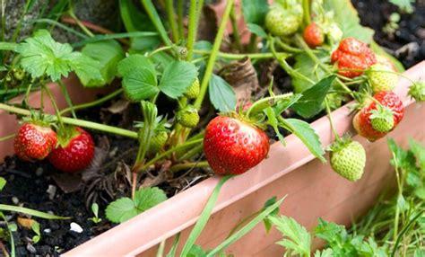 piante da frutto in vaso 10 piante da frutto da coltivare in vaso sul balcone leitv