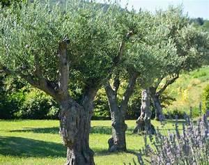 Comment Reconnaitre Un Hibiscus D Intérieur Ou D Extérieur : olivier plantation taille et entretien de l 39 olivier ~ Dallasstarsshop.com Idées de Décoration