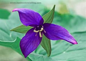 purple trillium - It's About Travelling