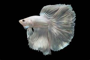 We Suggest Adorable Names for Your Delicate Darling Betta Fish
