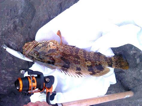 grouper orange albino fish spotted looks
