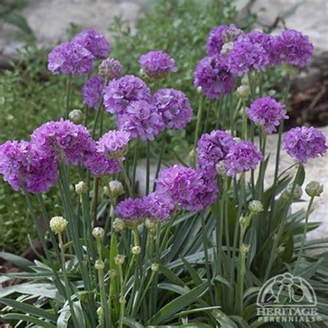 plant profile  armeria pseudarmeria ballerina lilac