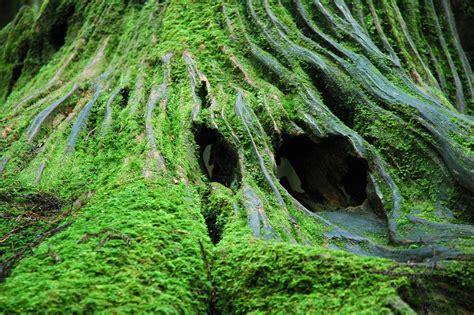 Images Of Moss File Alishan Forest Stump Moss Jpg Wikimedia Commons