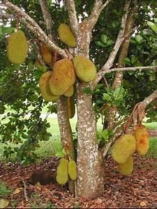 Jackfruit Growing in the Florida Home Landscape -- Figure ...