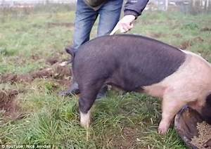 Video shows man demonstrating how to make a pig's curly ...