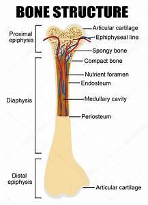 Diagram Of Human Bone Anatomy  U2014 Stock Vector