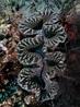 Giant clam - Wikipedia