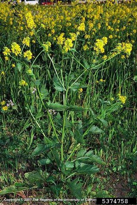 wild mustard sinapis arvensis capparales brassicaceae