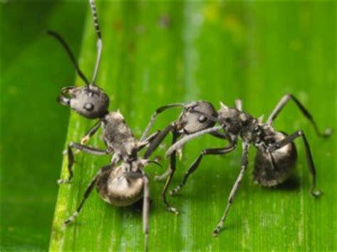ameisen im rasen wirksam bekämpfen kleine rote tierchen rote spinnmilbe oder rote samtmilbe xanten kleine rote tiere insekten auf