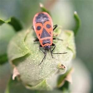 Schwarze Käfer Im Garten : feuerwanze eine wanze kein k fer liebe deinen garten ~ Lizthompson.info Haus und Dekorationen
