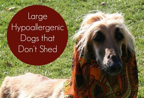best dogs that dont shed much large hypoallergenic dogs that don t shed vills