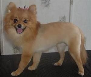 https://petcarepricing.com/wp-content/uploads/2015/06/Pomeranian-Haircut-Lion-Cut.jpg - photo#10