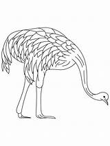 Emu Coloring Farmed Birds Printable Template Recommended Getcolorings sketch template
