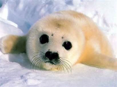 Seals Sealine Seal Harp Eyes Window Cutest