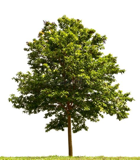 Tree Images No Background by Small Tree Stock Photo Image Of Green Nature