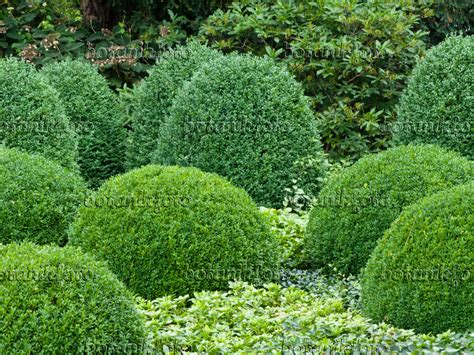 Image Common boxwood (Buxus sempervirens) and Japanese