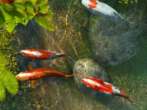 wallpapers unlimited japanese colorful koi fish