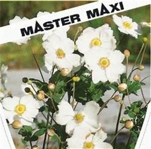 Weiß Blühende Stauden : anemone japonica wei japan anemone winterharte stauden f r lebendige g rten ~ Markanthonyermac.com Haus und Dekorationen