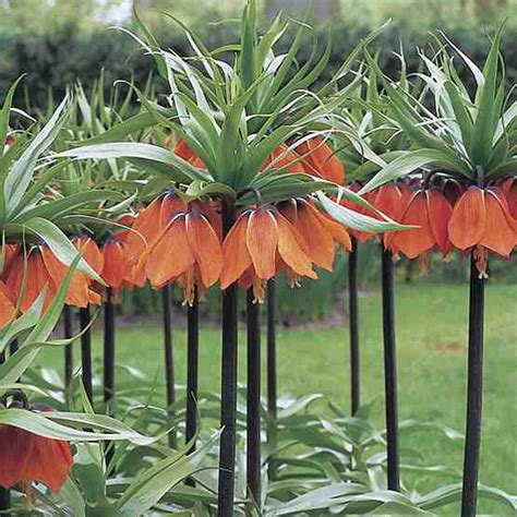 trees planet fritillaria imperialis crown imperial