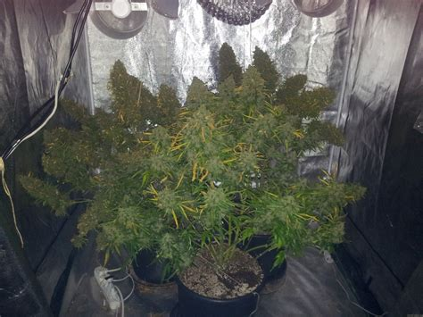 dutch passion cannabis strain info