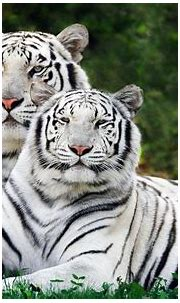 animals tiger white tigers nature Wallpapers HD / Desktop ...