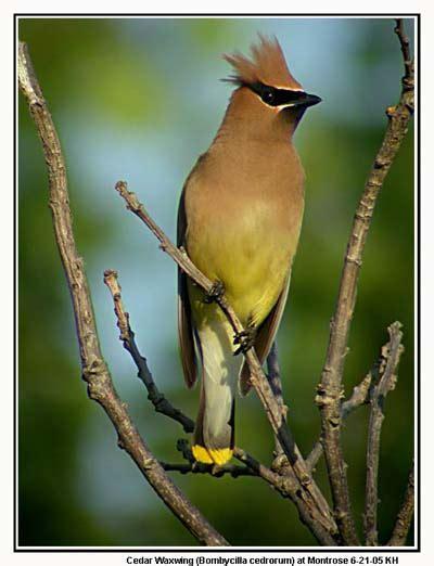 american robin kingbirds bluebirds  chickadees