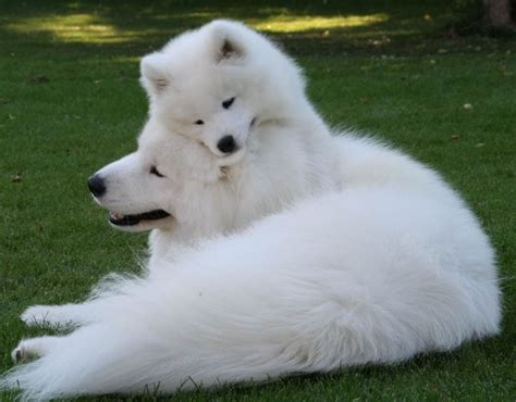 Beautiful ☮ Mommy♥♥ Samoyed Dogs Dogs Dogs