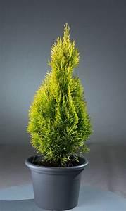 Thuja Smaragd Wachstum : lebensbaum golden smaragd thuja occidentalis golden ~ Michelbontemps.com Haus und Dekorationen