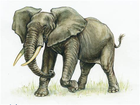 cuisine tarte au citron encyclopédie larousse en ligne éléphant d 39 afrique