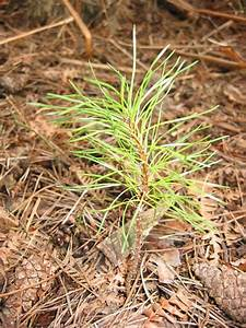 tree pine sapling 08