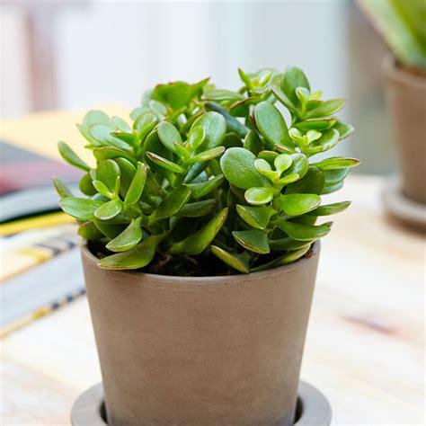 buy top  feng shui plants   nursery